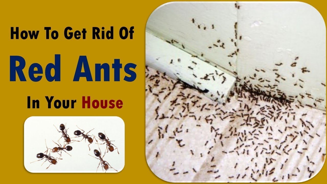 النمل الأسود وطرق القضاء عليه بكل سهولة